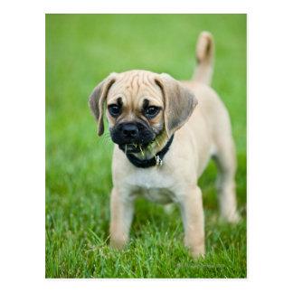 Portrait of puppy standing in grass postcard