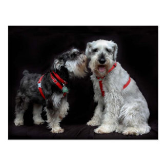 Postcard of Two Schnauzers