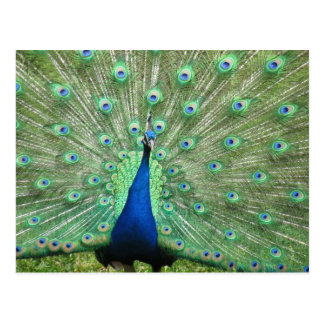 Postcard - Peacock with fanned tail