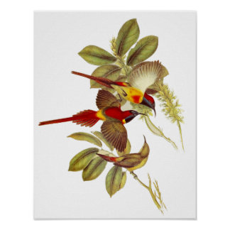 Poster Vintage Fire-tailed Sunbird Birds 1850-54