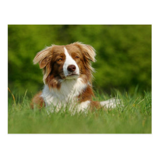 Postkarte Hunde Border Collie Portrait