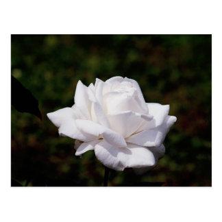 Postkarte weisse Rose