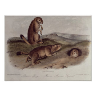 Prairie Dog from 'Quadrupeds of North America' Poster