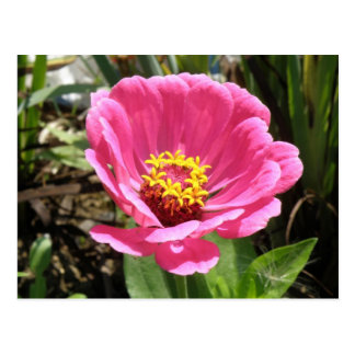 Pretty Pink Zinnia Postcard