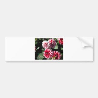 Pretty Red and White Dahlia Flowers Bumper Sticker