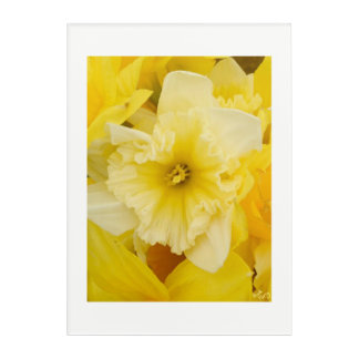 Pretty Yellow Daffodils Acrylic Wall Art