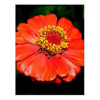 Pretty Zinnia Flower Postcard