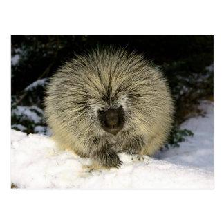Prickly Porcupine Postcard