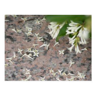 Privet Blossoms on Granite Postcards