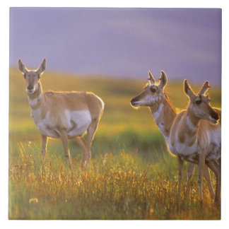 Pronghorn Antelope in Montana Tile