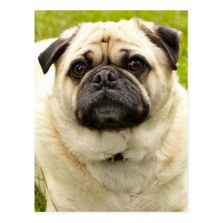 Pug cute dog beautiful photo postcard