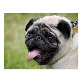 Pug dog cute photo postcard