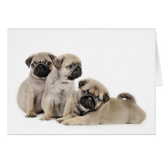 Pug Puppy Card