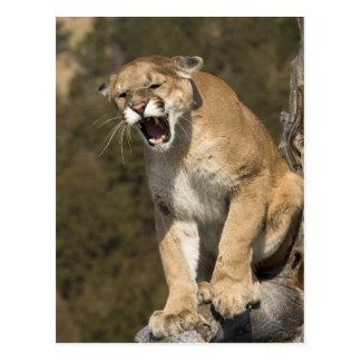 Puma or mountain lion, puma concolor, Captive - Postcard
