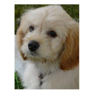 Puppy Love - Cute MaltiPoo Dog Photo Post Cards
