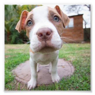 puppy pit bull dog brown nose close photo print