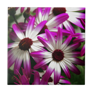 Purple and white pericallis flowers tile