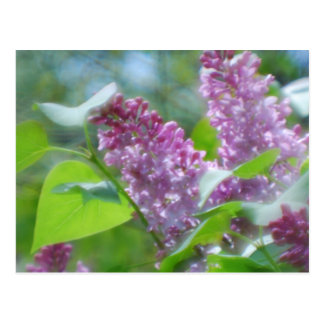 Purple Lilac Flowers Postcard