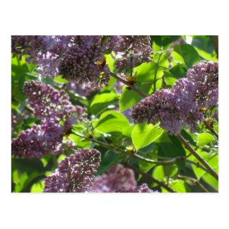 Purple Lilac Postcard