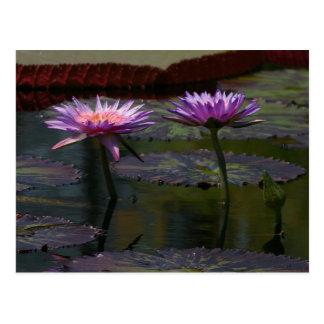 Purple Lotus Waterlilies Postcard