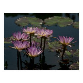 Purple Waterlilies Lotus Postcard