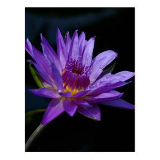 Purple Waterlily Lotus Postcard