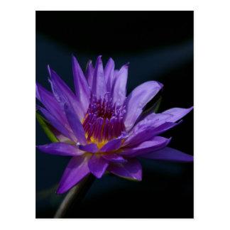 Purple Waterlily Postcard