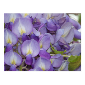 Purple Wisteria Postcard