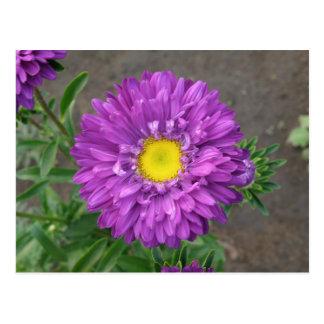 Purple Zinnia Postcard