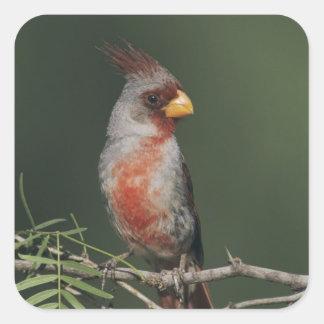 Pyrrhuloxia, Cardinalis sinuatus, male, Starr Square Sticker