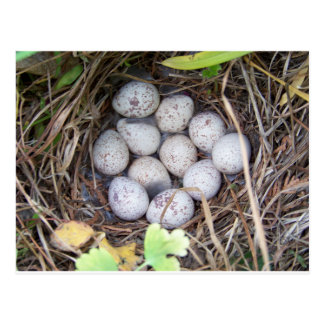 Quail Nest Postcard