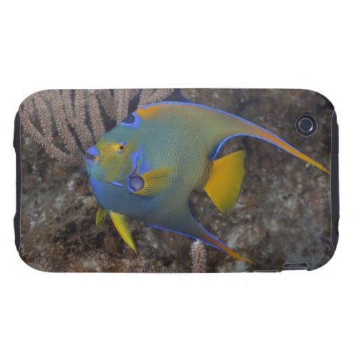 Queen Angelfish (Holacanthus ciliaris) swimming Tough iPhone 3 Case