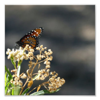Queen Butterfly Photo Print