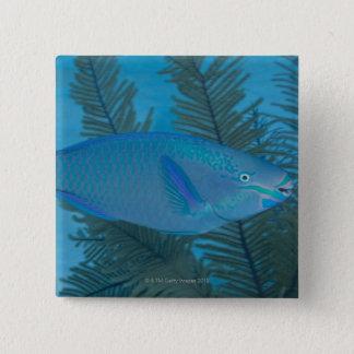 Queen Parrotfish (Scarus vetula) swimming over 15 Cm Square Badge