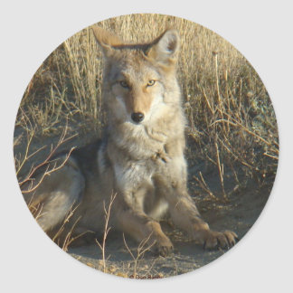 R0015 Coyote Laying sticker