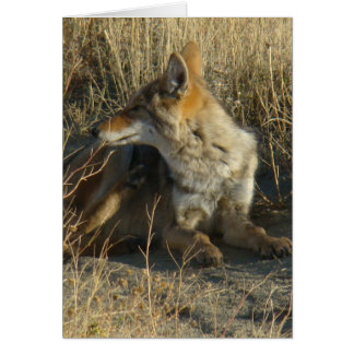 R0016 Coyote Scratching Card