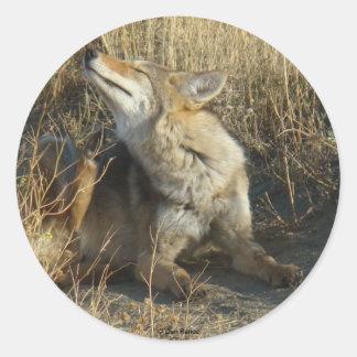 R0017 Coyote Scratching sticker