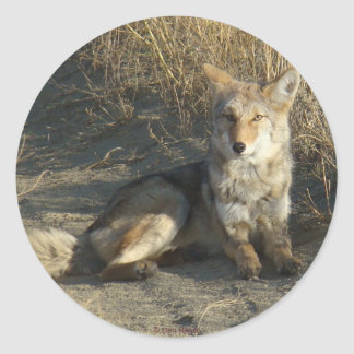 R0019 Coyote Laying Classic Round Sticker