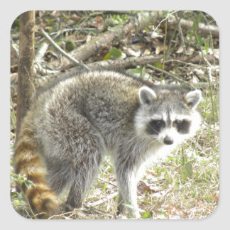 Racoon Square Sticker