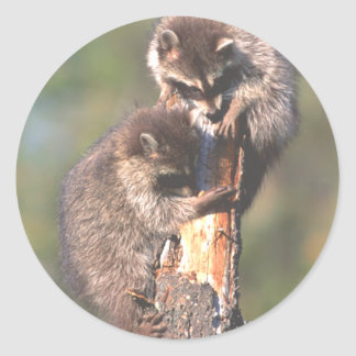 Racoons on Stump Classic Round Sticker