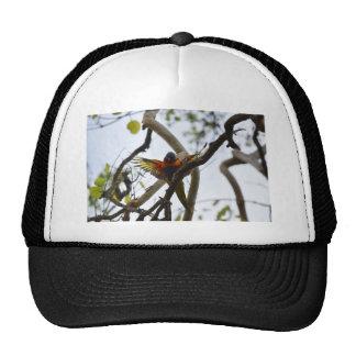RAINBOW LORIKEET RURAL QUEENSLAND AUSTRALIA CAP