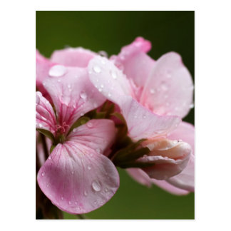 Raindrops on Ivy-Geranium over a natural green bac Postcard