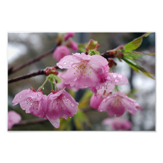 Raindrops on pink cherry blossoms photo print