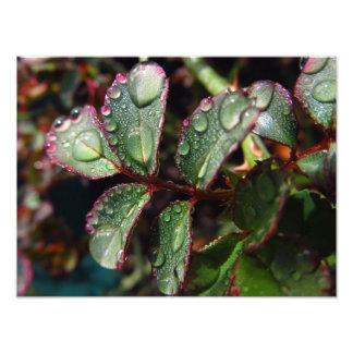 Raindrops on rose tree leaves photo print
