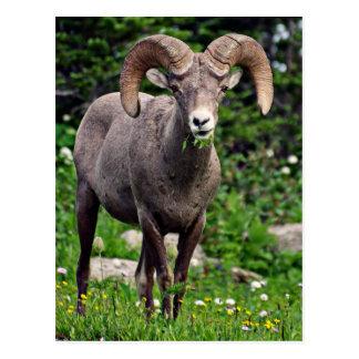 Ram Grazing Postcard