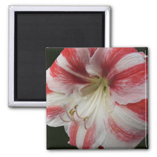 Red and White Amaryllis Floral Magnet