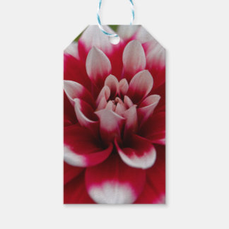 Red and white Dahlia (Dahlia x hortensis) Gift Tags