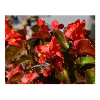 Red Begonia Postcard