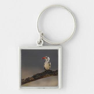 Red-billed Hornbill, Tockus erythrochynchus, Key Ring