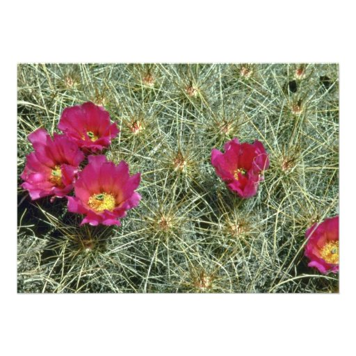 Red Blooms On Cactus flowers Custom Announcements